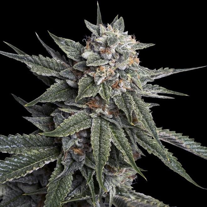 Holy Grail Kush Cannabis Strain appearance