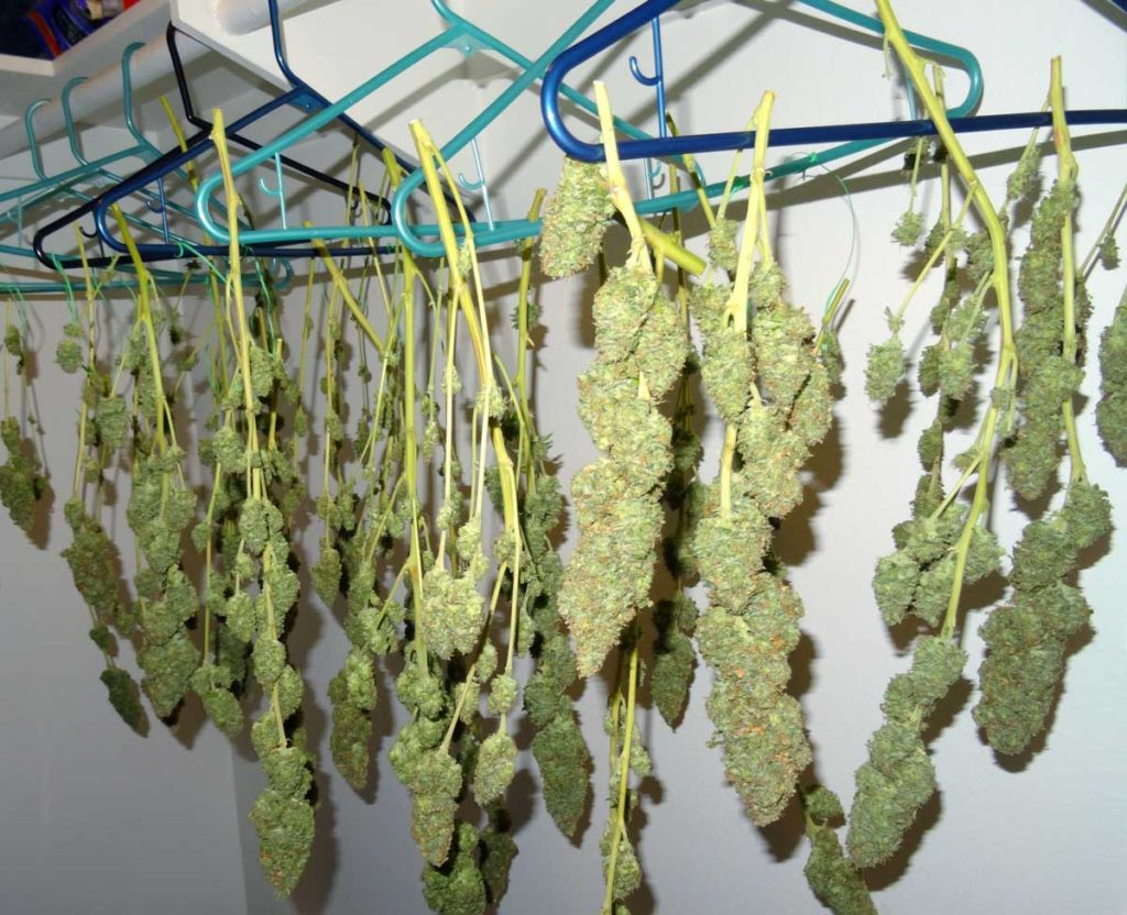 cannabis-drying-in-closet