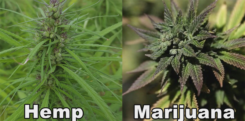 Marijuana-vs-Hemp-Leaves