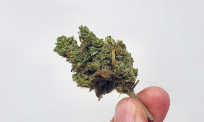 UGORG #1 Cannabis Strain review