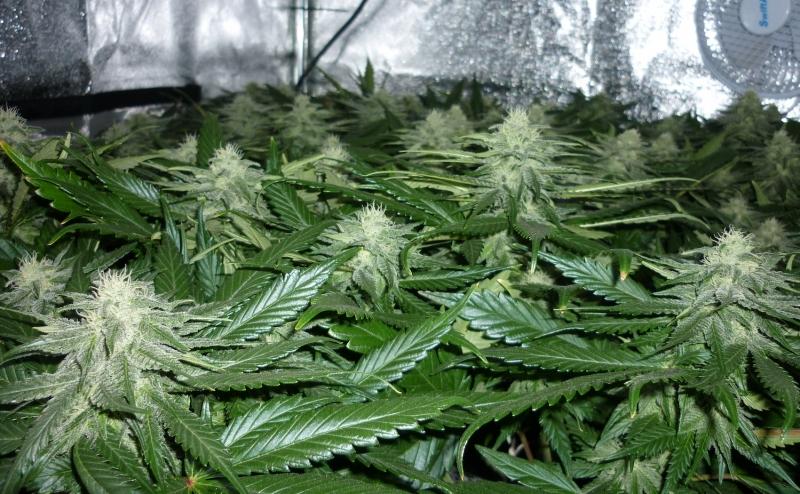 UGORG #1 cannabis leaf