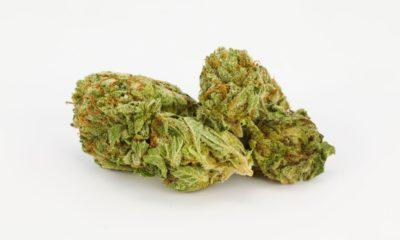 Chronic-Weed-Strain-Buds