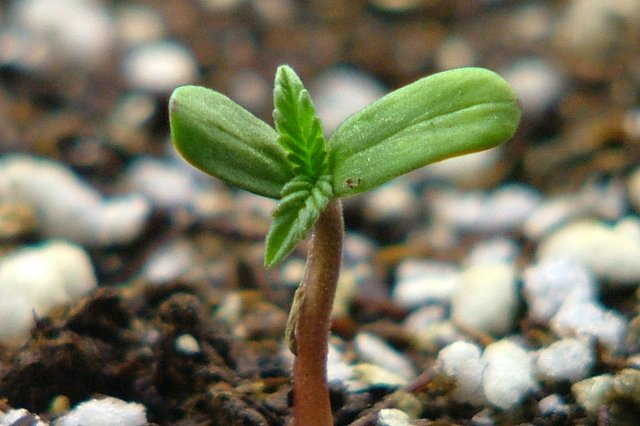 Growing Chronic Cannabis From Seed