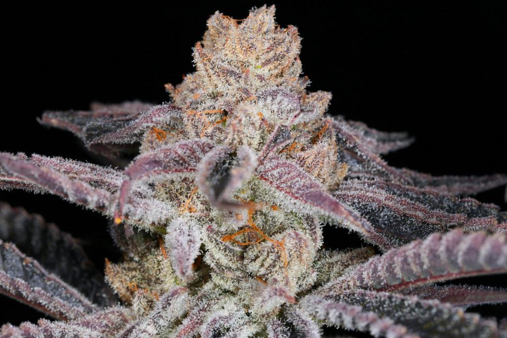 Purple punch plant