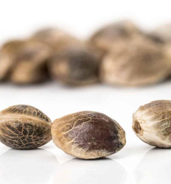 chronic-cannabis-seeds