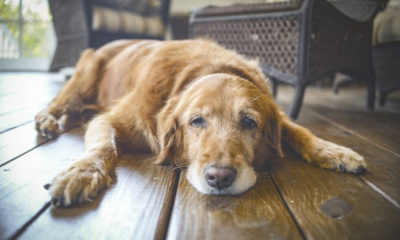 Can I Give my dog CBD Oil to Treat Arthritis