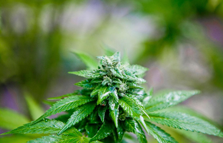 Cannabis-Durban-Poison-plant