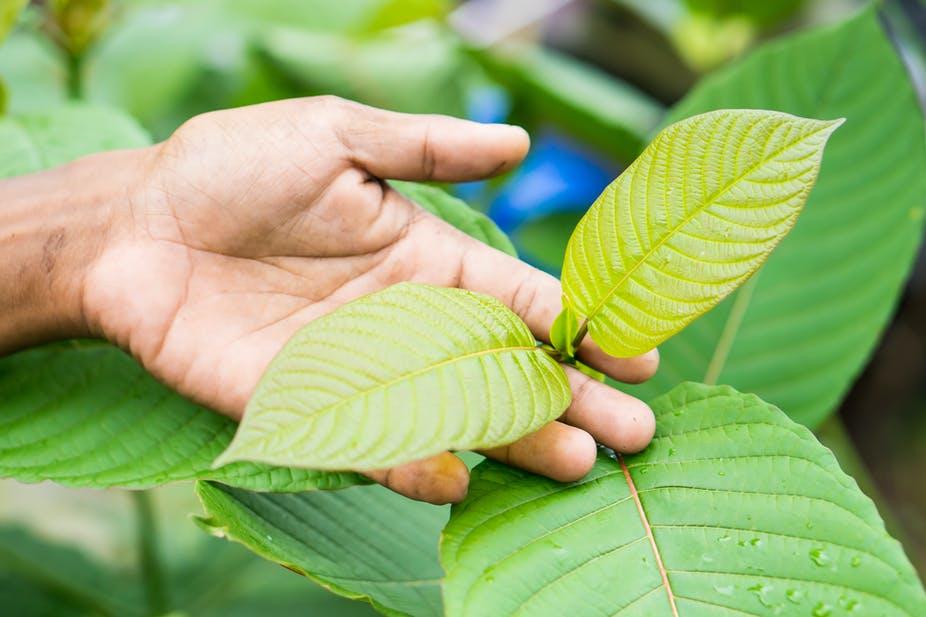 kratom plant leaf