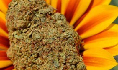 Mataro-blue-weed-strain-bud